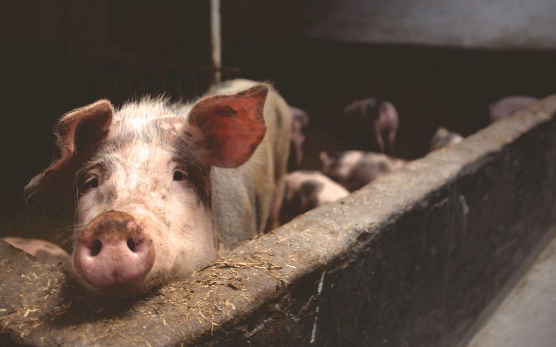 SGP en 50Plus op de bres voor varkenshouder