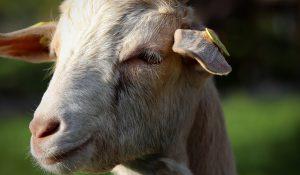 Vergunning geitenstal Zuylestein gesneuveld